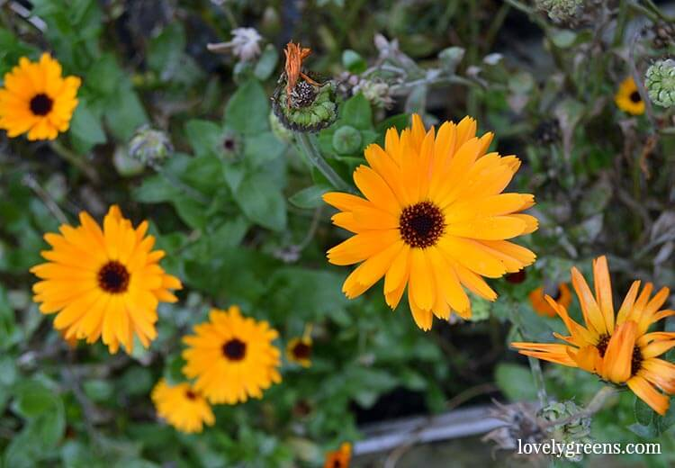 Clearing up the Allotment Garden in November: Calendula flowers
