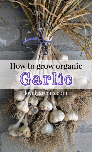 Tips on growing organic garlic. Everything from selecting varieties to planting and harvesting.