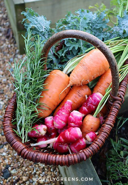 How to plant a winter vegetable garden with crops to harvest throughout the cold season. Includes tips on when to sow and plant winter crops, growing both outdoors and undercover, and overwintering your vegetables for spring #gardeningtips #vegetablegarden #garden