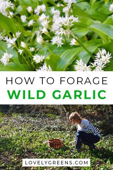 How to find, pick, and use wild garlic, also called ramps or ramsons. Includes foraging tips and recipe ideas #lovelygreens #wildfood #foraging