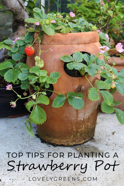 The best way to plant a strawberry pot with tips on choosing plants, erosion, watering, and compost #growyourown #strawberries #terracottapot #growstrawberries #organicgardening #containergardening #urbangardening #growfood #lovelygreens