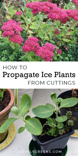 Propagating the succulent plant, Sedum spectabile from a cutting. This is the easiest way to to create new plants for free #succulents #propagate #plantsforfree