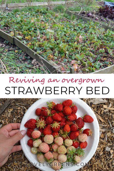 Reviving an Overgrown Strawberry Patch -- tips on tidying it up and getting it back into fruitful production #lovelygreens #vegetablegarden