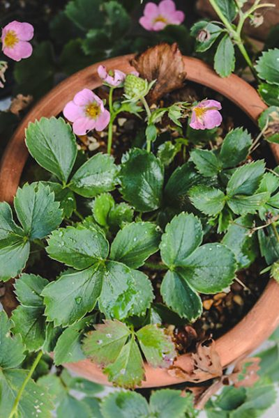 The Best Way to Plant a Strawberry Pot