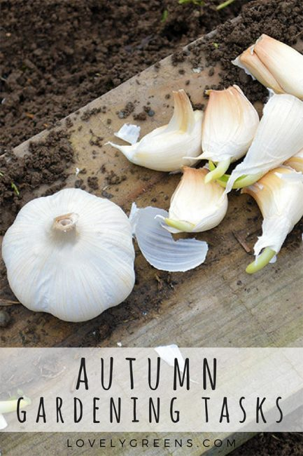 Autumn Gardening Tasks: Pruning Raspberries & Planting Garlic