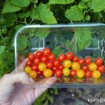 Growing tiny Red & Yellow Currant Tomatoes