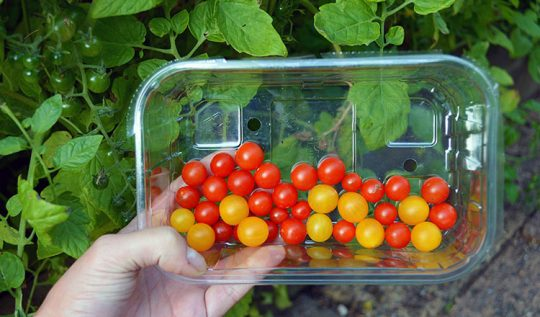 Currant Tomatoes are the ancestors of modern tomato varieties and produce literally hundreds of fruits the size of a marble or smaller