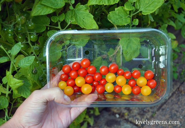Growing Tomatoes from Seed: Sowing times, compost, and instructions. The first piece on growing tomatoes from seed. Covers where to get heirloom seeds, how to sow them, watering and temperatures, and the best compost to use. Includes two instructional videos #lovelygreens #vegetablegardening #organicgardening