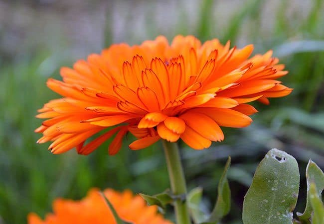 Grow a Beauty & Skincare Garden -- herbs and flowers that nourish your skin