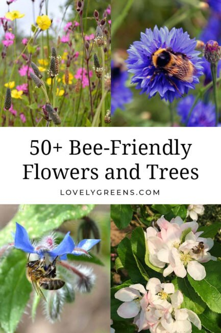 Attracting bees and pollinators to your garden is as simple as planting the right flowers, shrubs, and trees. This list includes over fifty types that you can plant for bees through all the seasons #gardeningtips #beefriendly #organicgardening