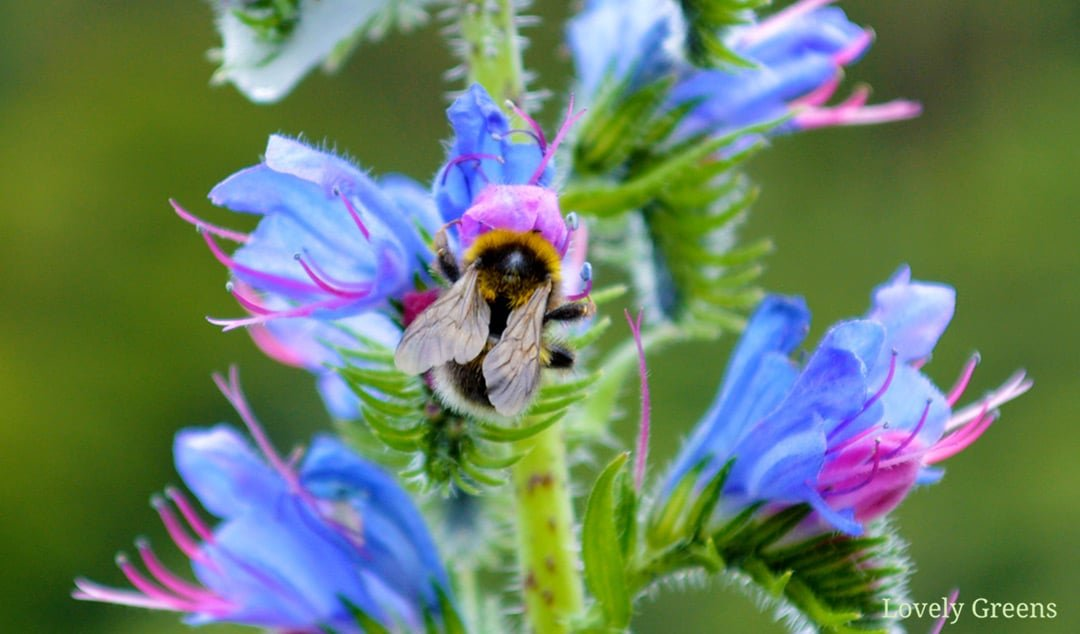 Save our Bees: how to ID and help Bees in the Garden