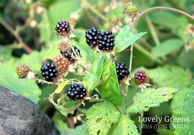 wild blackberries growing in the hedgerow