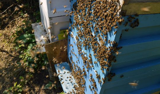 The Honeybees in May + Weird Discoveries in the Hives