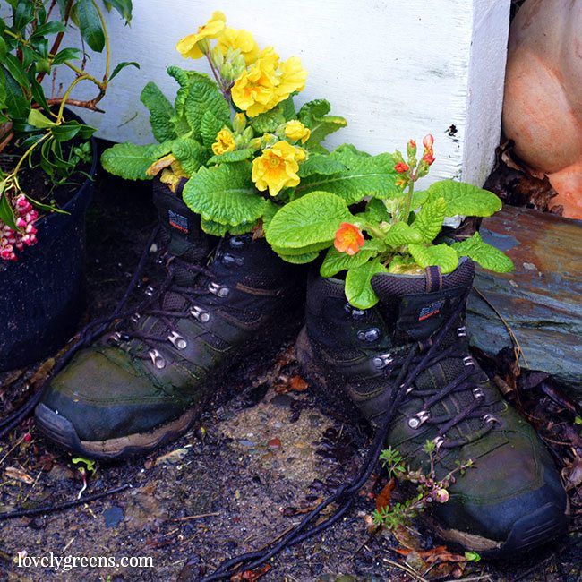 Recycled boot planter with Primroses