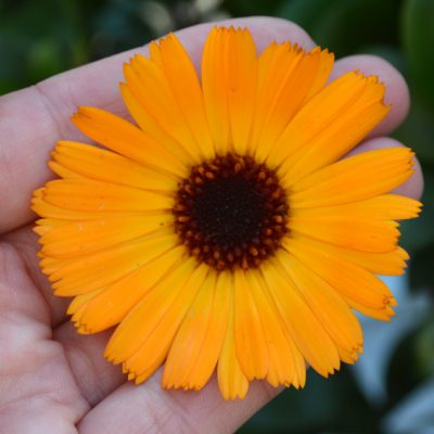 How to use calendula flowers for skin and ways to make healing skincare. Shown to have powerful skin healing properties, calendula's compounds can be easily extracted and made into homemade ointments, balms, creams, lotions, and soap #lovelygreens #herbalism #diybeauty
