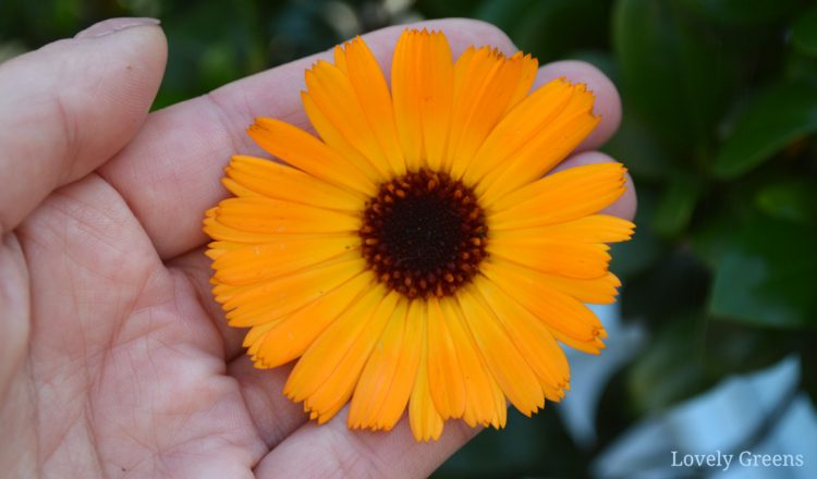How to use Calendula Flowers for Skin