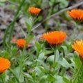 How to grow Calendula Flowers for Skincare Recipes
