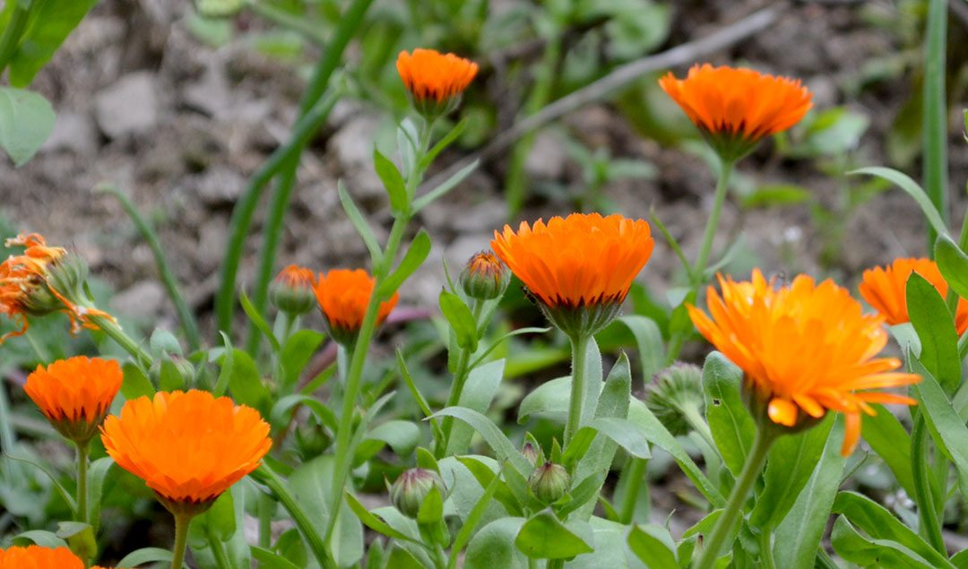 How to grow Calendula Flowers & use it in Skincare Recipes