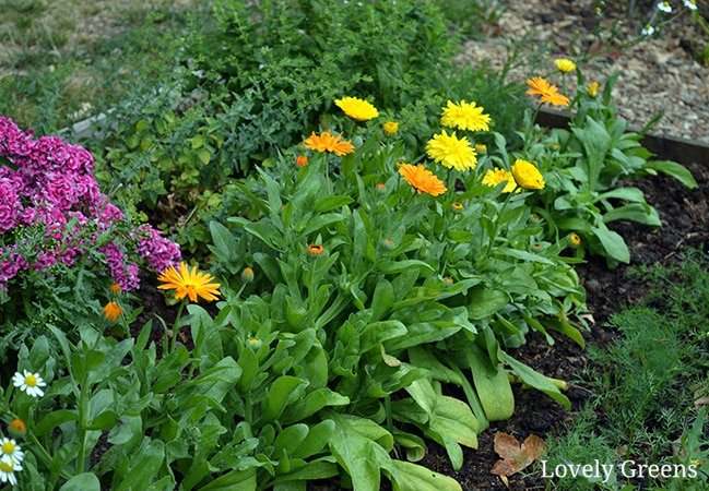Complete Guide on how to grow Calendula Flowers including tips on sowing, growing, saving seed, ways to use it as a companion plant, and the best cultivars for medicinal use #lovelygreens #herbalism #marigold #calendulaofficinalis
