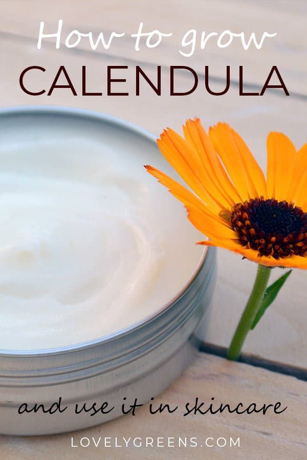 How to grow Calendula Flowers and use it in Skincare Recipes. Calendula petals contain natural skin healing properties that help with eczema, acne, and other skin issues. They're a gentle skin herb than can also be used in daily skincare #lovelygreens #herbalism #herbs #medicinalplants #medicinalflowers #skincaregarden #skinherb #beautydiy #herbgarden #diybeauty