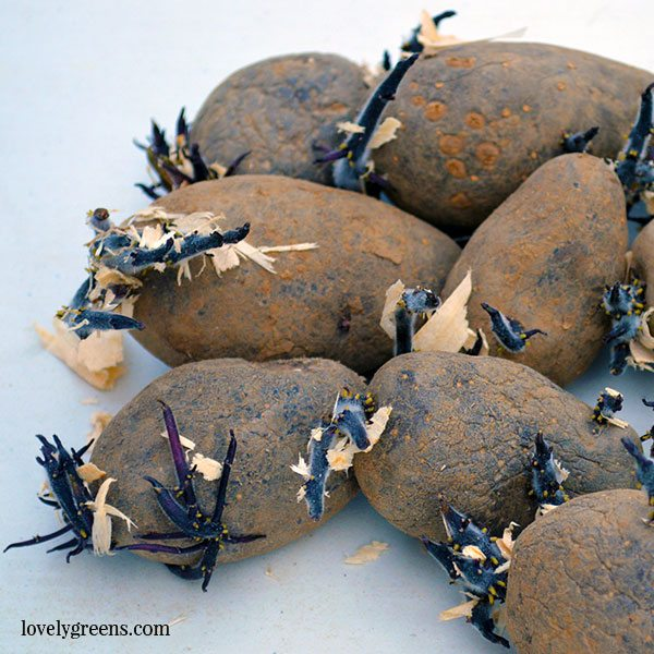 Chitting potatoes helps give them a head start before planting