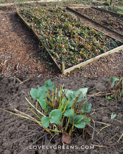 Tips on how to clean up an overgrown strawberry bed -- a late winter and early spring gardening task and gets your plants back into fruitful production. Full DIY video included #gardeningtips #vegetablegarden #growstrawberries