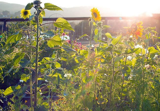 Gardening with Companion Plants & Edible Flowers -- sunflowers in the evening sun
