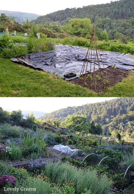 Black plastic laid can kill grass and weeds to make space for a vegetable garden. It's an eco-friendly way to clear land without having to use herbicides #lovelygreens #vegetablegardening #gardeningtips