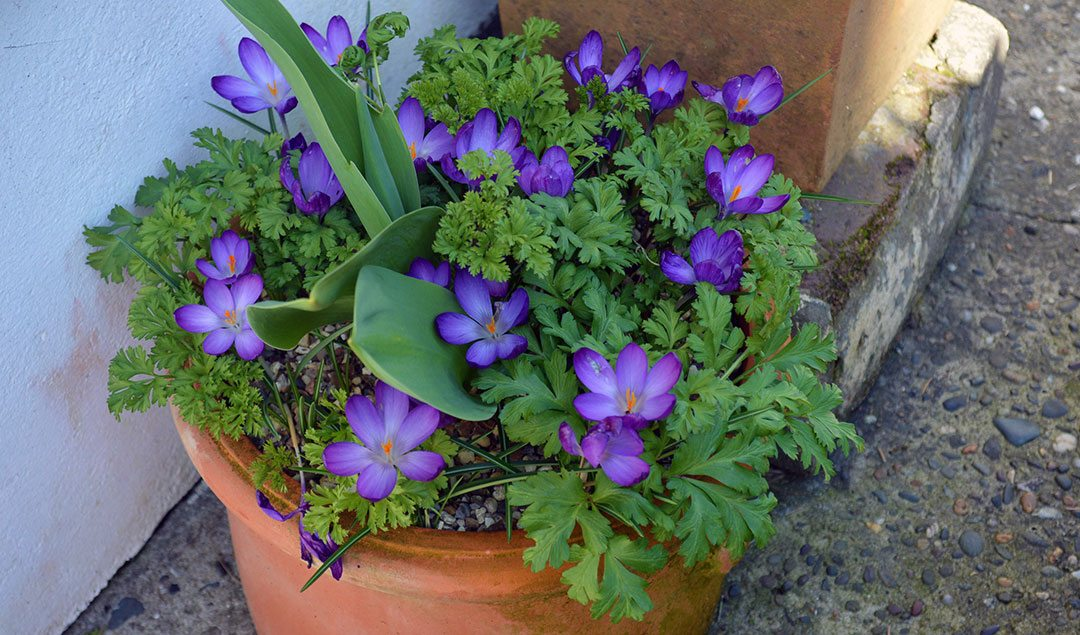 Plant Bulbs in Pots for Spring Flowers