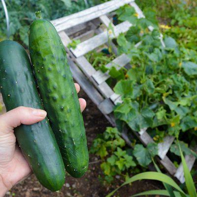 No tools required DIY Pallet Cucumber Trellis