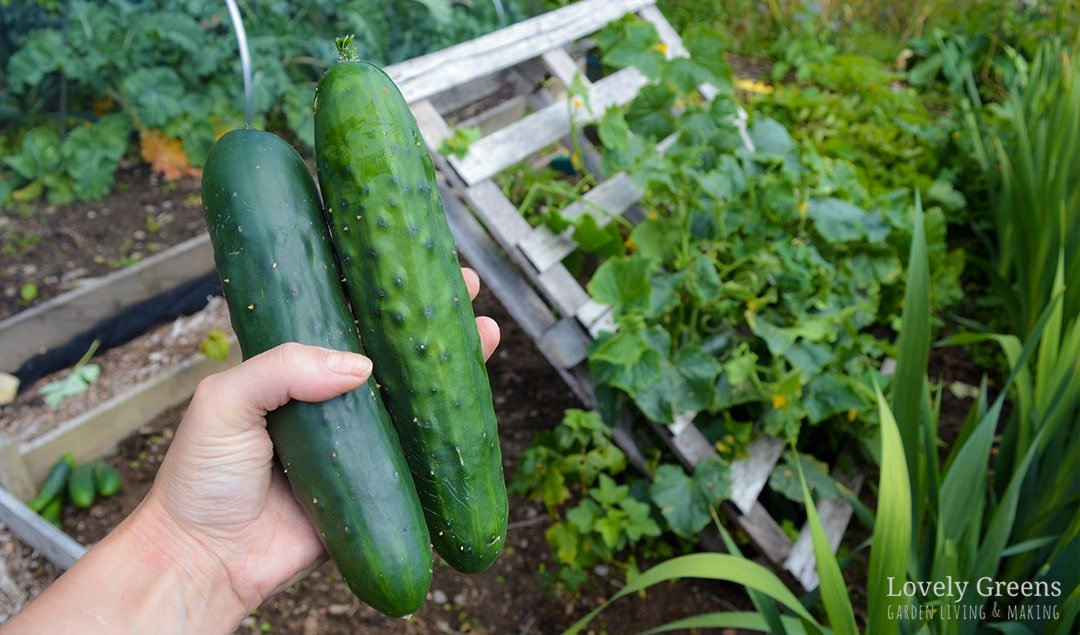 No Tools Required Diy Pallet Cucumber Trellis Lovely Greens