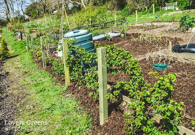 How to build a Blackberry Trellis: a simple way to grow thornless blackberries. Wood