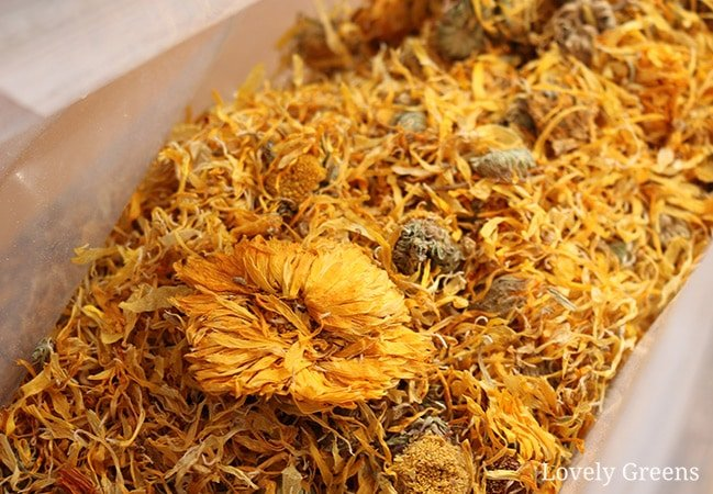 How to use calendula flowers in skincare. Shown to have powerful skin healing properties, calendula's compounds can be easily extracted and made into homemade ointments, balms, creams, lotions, and soap #herbalism #greenbeauty #diybeauty
