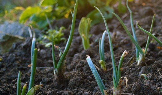 Late January in the Allotment Garden: Transplanting soft-fruit and digging and dividing Egyptian Walking Onions -- perennial onions that form bulbils at the top of a tall stalk