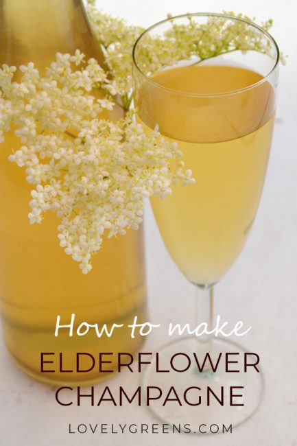 Elderflower Champagne: Pick Elderflowers in early summer to make this sweet sparkling wine #winerecipe #makewine #makechampagne #elderflowerrecipe