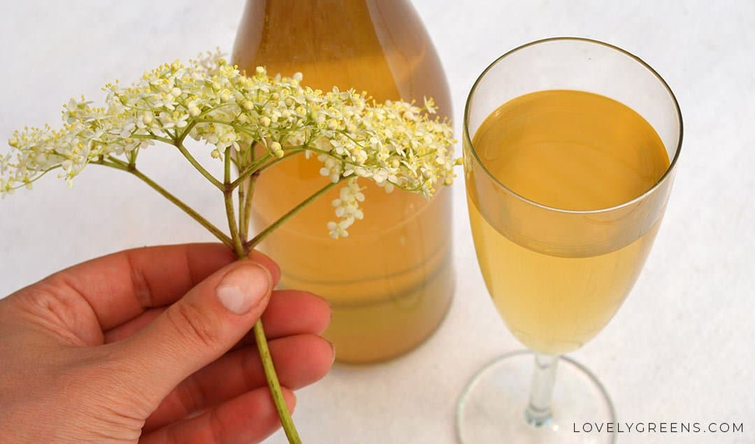 Sweet and Summery Elderflower Champagne Recipe
