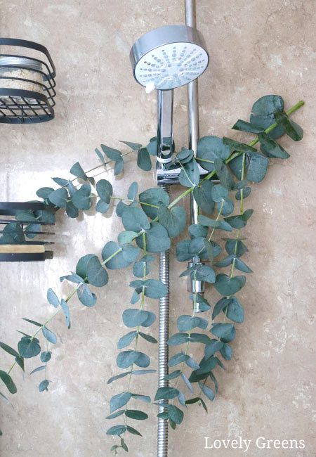 Hang a branch of eucalyptus in the shower for refreshing scent and respiratory relief during the cold and flu season #herbs #herbalism #herbalmedicine