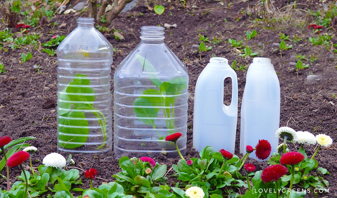 5 Gardening Strategies to use in a Cold Spring including choosing the right vegetable varieties, growing under cover, and protecting young plants #organicgardening #vegetablegardening #coldspring #coldweathergardening #permaculture #gardening #gardeningtips
