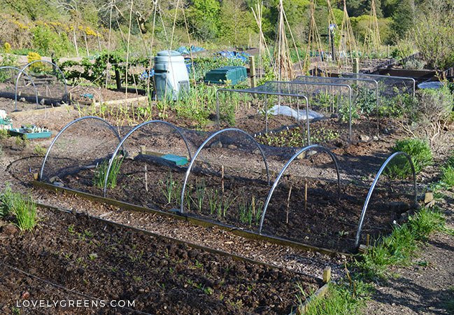Natural ways to keep birds out of the garden without hurting them. Includes various netting, decoys, and scarers, and tips on keeping them effective #vegetablegarden #gardenpests #birds #scarebirds #organicgardening