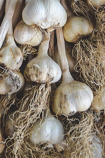 Tips on how to grow organic garlic including varieties, planting direct and in modules, after care, harvesting, braiding, and storage #organicgardening #vegetablegardening #gardeningtips