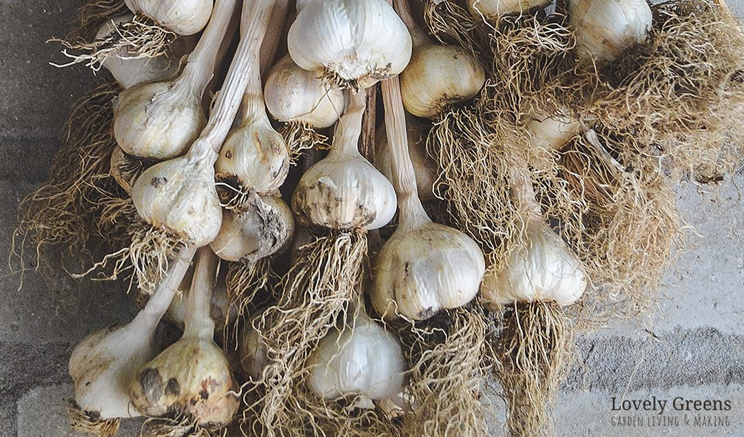 How to grow Organic Garlic: planting, growing, & harvesting