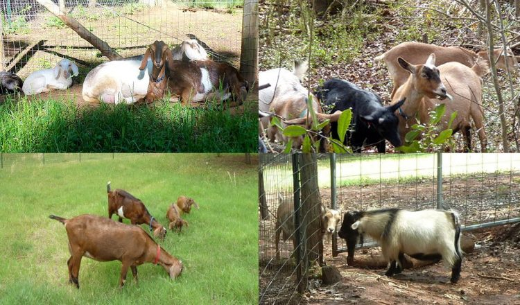 Choosing the right Goats for your Homestead