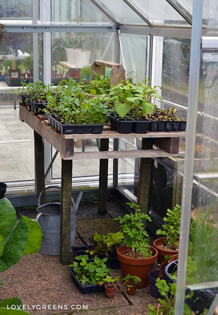 Planting a Living Wall Planter, an update on seedlings growing at home, and planting the sweet peas in the allotment garden