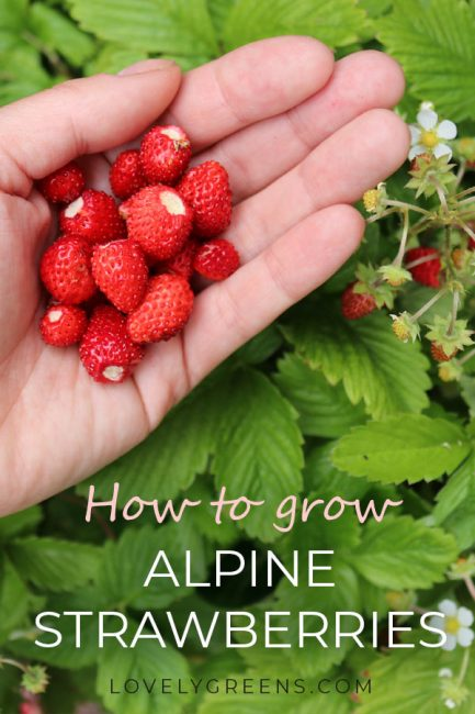 Tips on how to grow alpine strawberries. These fruit plants are either wild strawberries or closely related to them and produce tiny red berries #lovelygreens #alpinestrawberries #growstrawberries #gardeningtips #organicgarden #unusualveg #foodgarden #vegetablegarden