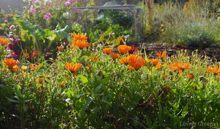 How to grow calendula flowers: sowing, growing, and saving seed
