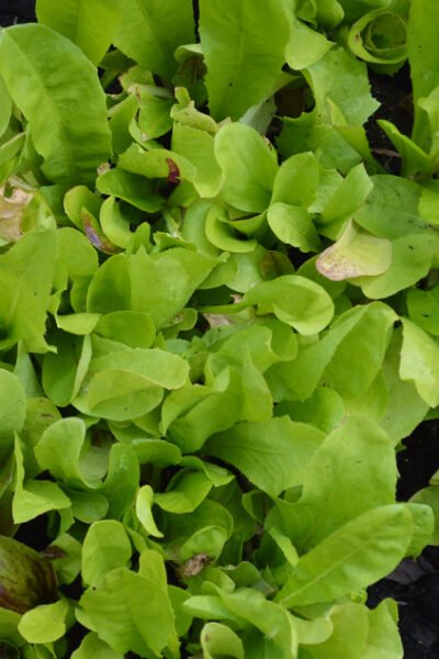 Get multiple harvests of salad greens by growing cut-and-come-again lettuce and baby salad greens. All you need is a shallow container, compost, and seeds #growyourown #gardeningtips #vegetablegarden #containergarden