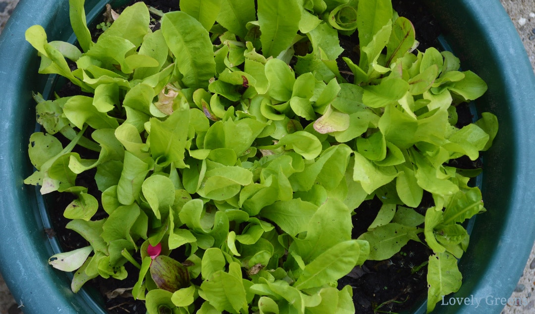 Grow Cut-and-Come-Again Lettuce and Baby Salad Greens