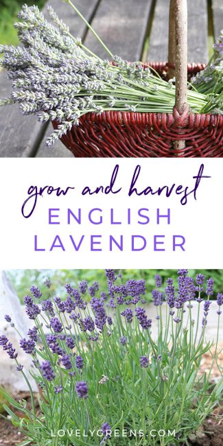How to grow English lavender, tips on cultivars, growing conditions, harvesting, and creative lavender ideas and skin care recipes. Includes a video #flowergarden #lavender #howtogrow