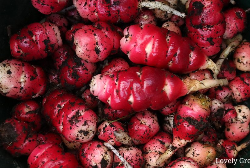 How to grow oca, a low-fuss root vegetable from South America. This lost crop of the Incas grows edible leaves and up to fifty tubers each #gardeningtips #kitchengarden #vegetablegarden