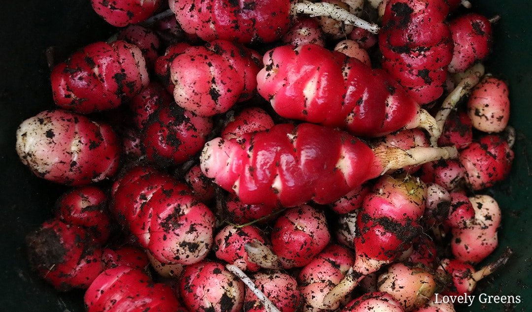 How to grow Oca, a South American root vegetable (New Zealand Yam)